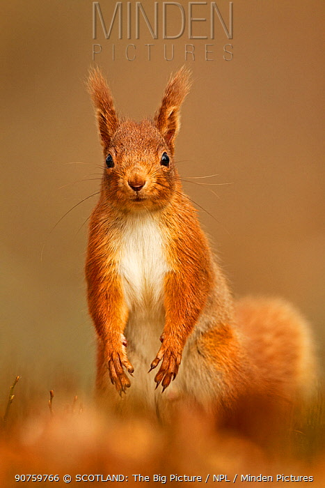 Red Squirrel (Sciurus vulgaris) standing upright in alert pose. Cairngorms National Park, Scotland, UK, March.