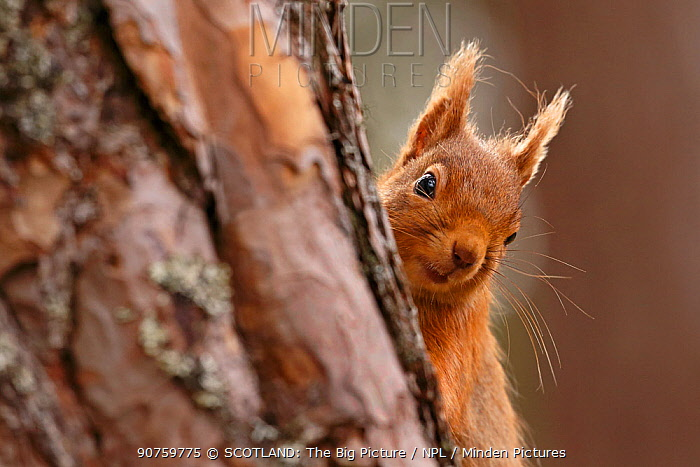 Red squirrel (Sciurus vulgaris) peering round pine tree, Cairngorms National Park, Highlands, Scotland, UK, April.