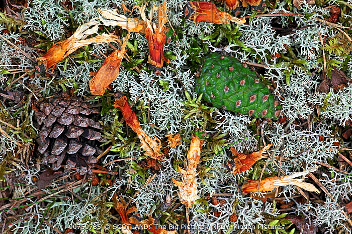 Scots pine (Pinus sylvestris) tree cones on forest floor, along with remains of cone chewed by Red Squirrel (Sciurus vulgaris) Highlands, Scotland, UK, August.