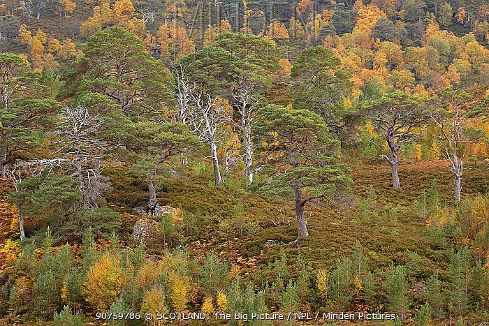 Scots pine (Pinus silvestris) and Silver birch (Betula pendula) forest, with natural regeneration of pine and birch seedlings. Glen Strathfarrar, Highlands, Scotland, UK