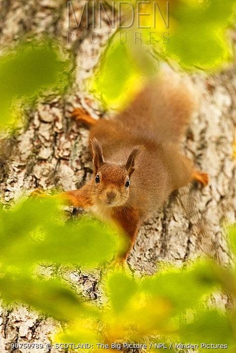 Red squirrel (Sciurus vulgaris) descending trunk of Oak tree, Cairngorms National Park, Highlands, Scotland, UK, October 2015.