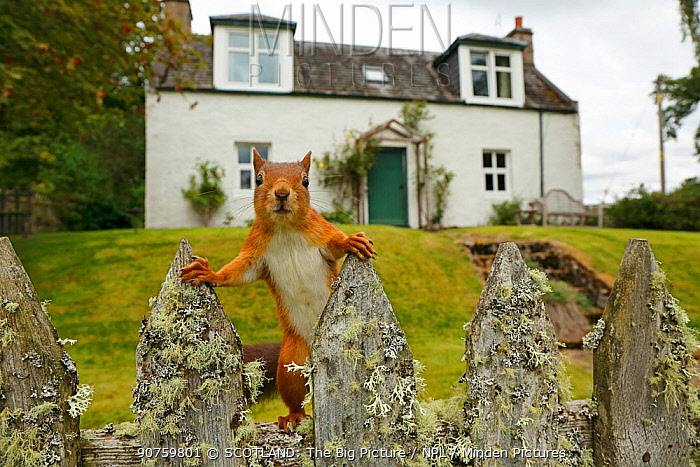 Curious Red Squirrel (Sciurus vulgaris) peering at camera from garden fence, Cairngorms National Park, Highlands, Scotland, UK, September 2016.