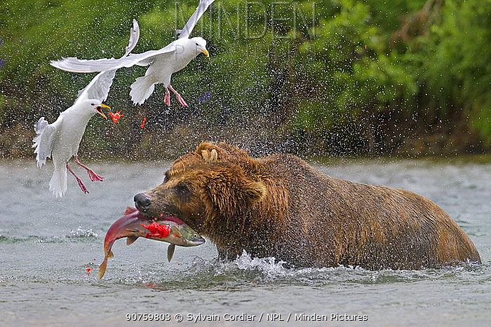 Grizzly bear (Ursus arctos horribilis), catching a female salmon in the river. With roe flying and gulls trying to scavenge the eggs, Katmai National Park and Preserve, Alaska, USA, February.