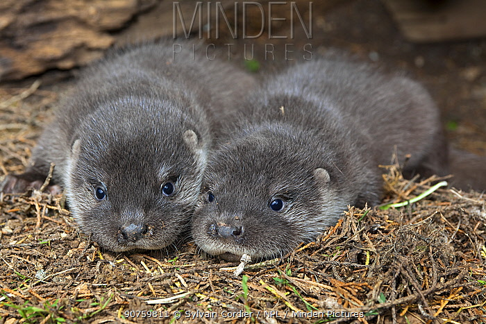 Young European Otter (Lutra lutra), two pups, Alsace, France, captive