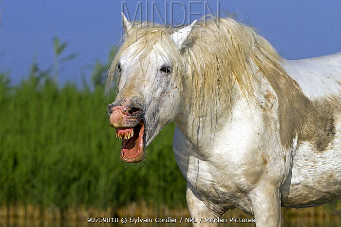 Camargue horse with mouth open. Bouches du Rhone, France May.