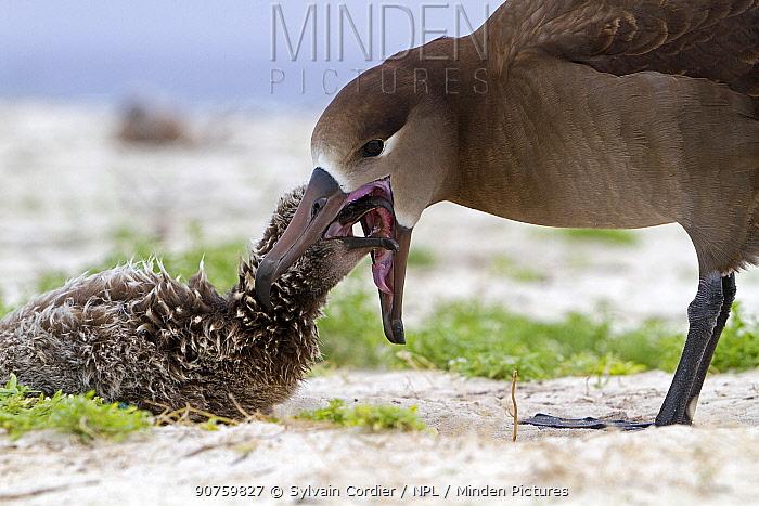 Black-footed albatross (Phoebastria nigripes), adult feeding a young, Eastern island, Midway Atoll National Wildlife Refuge, Hawaii