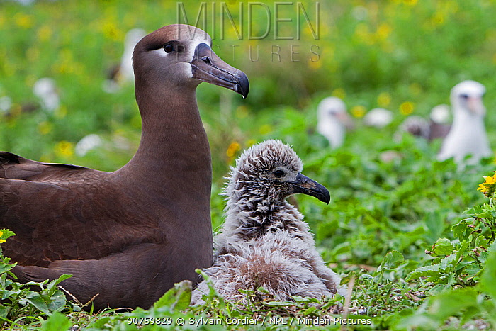 Black-footed albatross (Phoebastria nigripes), adult and young, Eastern island, Midway Atoll National Wildlife Refuge, Hawaii