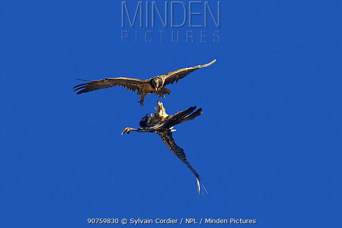 Lammergeier vulture (Gypaetus barbatus), aerial fight between two juveniles, Lerida province, Spain