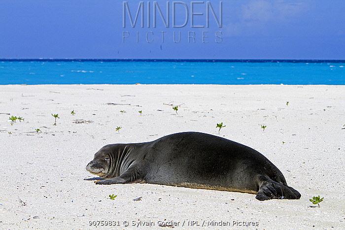Hawaiian monk seal (Neomonachus schauinslandi) Eastern island, Midway Atoll National Wildlife Refuge, Hawaii