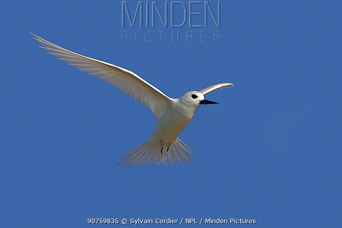 White tern (Gygis alba), in flight, Sand island, Midway Atoll National Wildlife Refuge, Hawaii