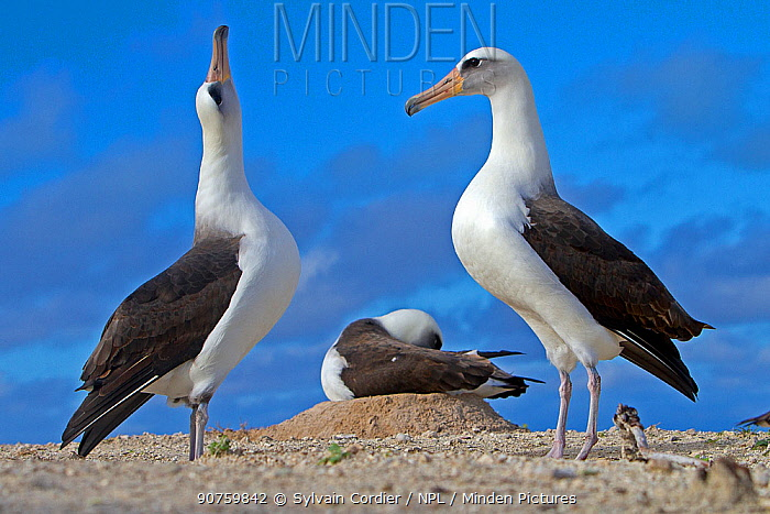 Laysan albatross (Phoebastria immutabilis), courtship ritual, Eastern island, Midway Atoll National Wildlife Refuge, Hawaii
