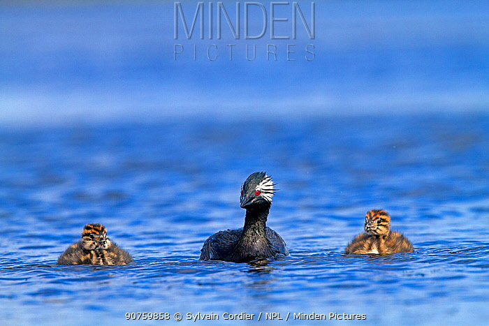 White-tufted grebe (Podiceps rolland rolland), adult with two chicks swimming, Pebble Island, Falkland Islands