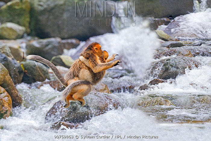 Golden snub-nosed Monkey (Rhinopithecus roxellana),crossing a river, Qinling Mountains, Shaanxi Province, China.