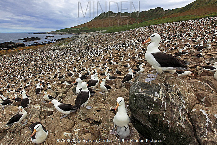 Black-browed albatross (Thalassarche melanophrys), colony, Steeple Jason, Falkland islands