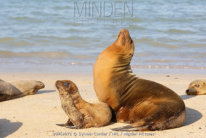 Galapagos sea lion (Zalophus californianus wollebacki), Female and baby, Santa Fe Island, Galapagos Islands
