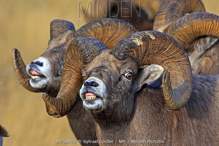 Rocky mountain bighorn sheep (Ovis canadensis canadensis) males in breeding season  exhibiting  flehmen response  to scent for females on heat,  Jasper National Park, Canada