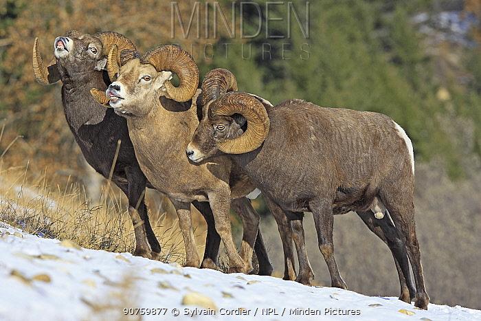 Rocky mountain bighorn sheep (Ovis canadensis canadensis) males in breeding season exhibiting flehmen response, Jasper National Park, Canada