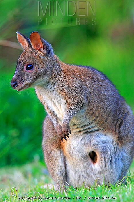 Red-necked pademelon  (Thylogale thetis) female, Queensland, Australia