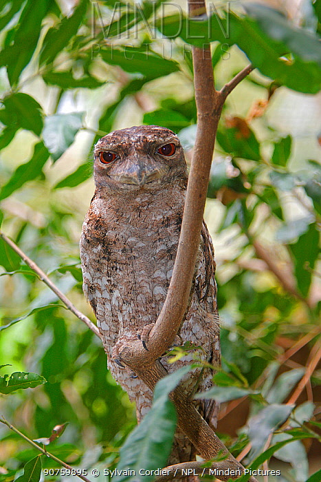 Papuan frogmouth  (Podargus papuensis) during daytime, Queensland, Australia