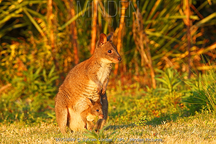 Red-necked pademelon  (Thylogale thetis), female and baby, Queensland, Australia