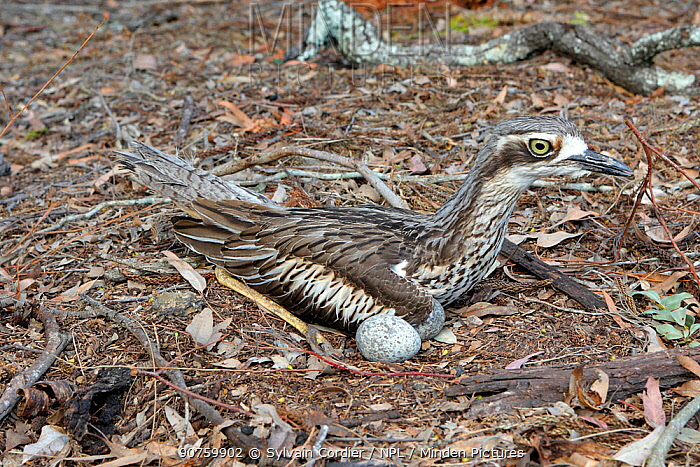 Bush stone-curlew (Burhinus grallarius) on the nest, Queensland, Australia