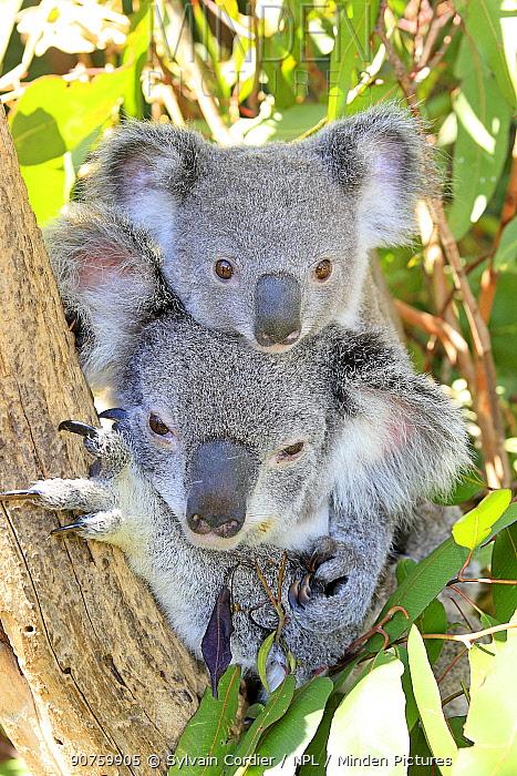 Koala (Phascolarctos cinereus), female and baby, captive, Queensland, Australia