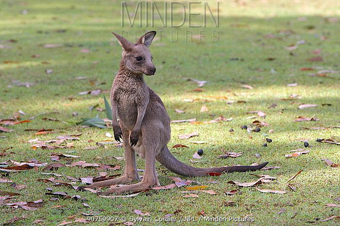 Grey kangaroo (Macropus giganteus), young in  park, Brisbane, Queesland, Australia