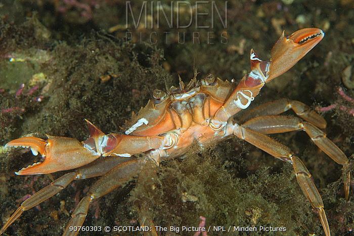 Harbour crab (Liocarcinus depurator) in maerl bed, South Arran Marine Protected Area, Isle of Arran, Scotland, UK, August.