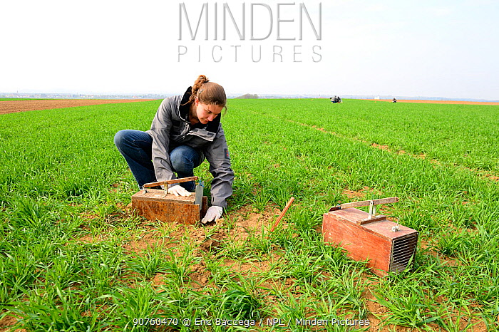 Scientists from the French Wildlife Department (ONCFS) placing traps to capture the common hamster (Cricetus cricetus) in a wheat field, Alsace, France, April 2013 Model released.