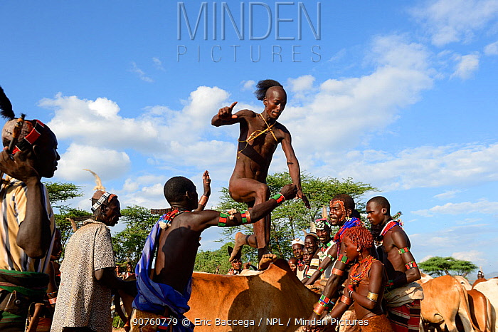 Bull jumping during the Ukuli ceremony, a rite of passage for boys to become men. Hamer tribe, Omo river Valley, Ethiopia, September 2014.