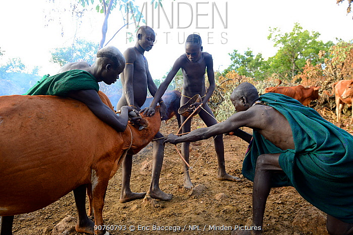 Cattle herder of the Suri / Surma tribe using bow and arrow to drain blood from the jugular vein of a cow to drink. Omo river Valley, Ethiopia, September 2014.