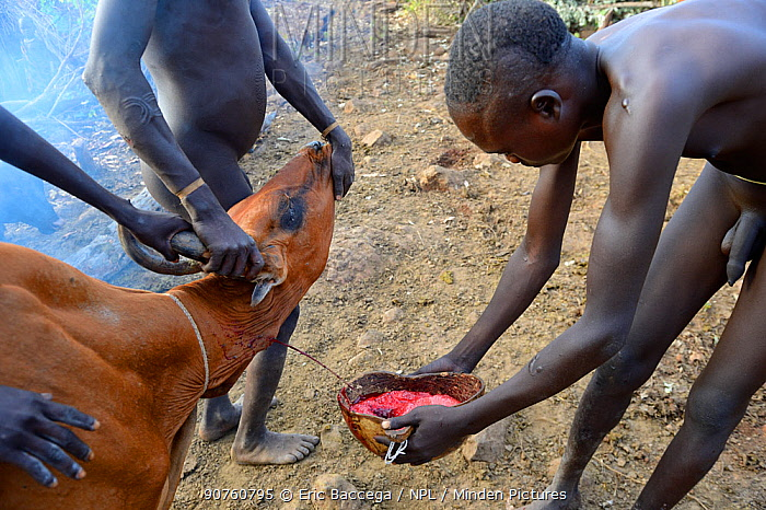 Cattle herder of the Suri / Surma tribe draining blood from the jugular vein of a cow to drink. Omo river Valley, Ethiopia, September 2014.