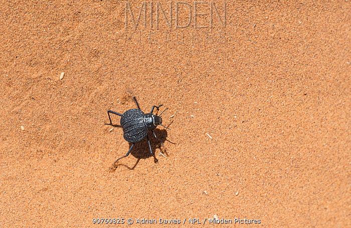 Darkling beetle (Onymacris plana) Sossusvlei, Namib Desert, Namibia