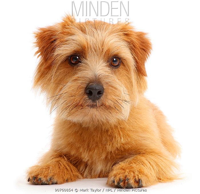 Norfolk Terrier dog, Otto, age 1 year.