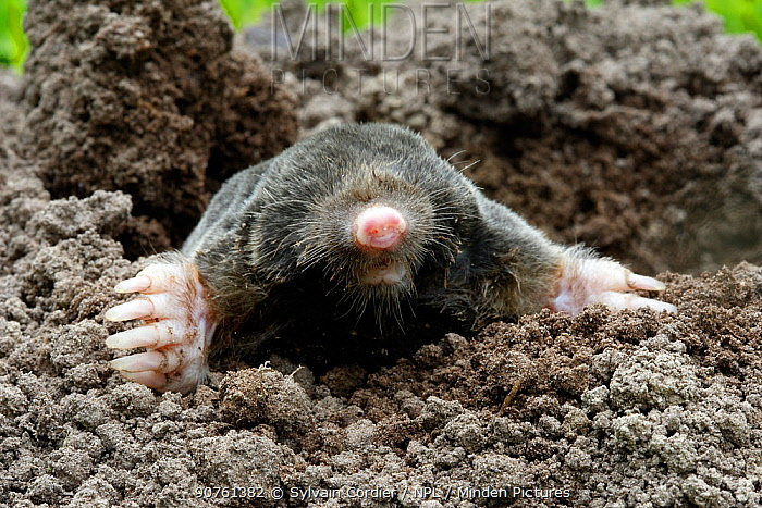 European mole (Talpa europaea) in a garden emerging of a molehill, Alsace, France