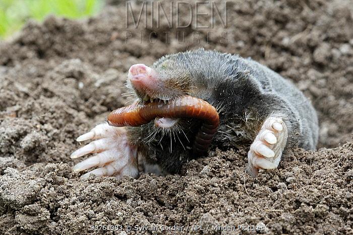 European mole (Talpa europaea) at surface of soil in garden, eating a worm, Alsace, France. Small repro only