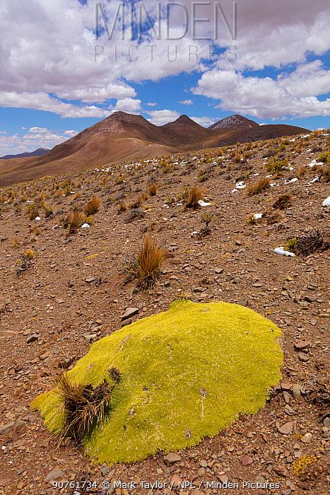 Giant cushion plant (Azorella compacta). Bolivia. December 2016.
