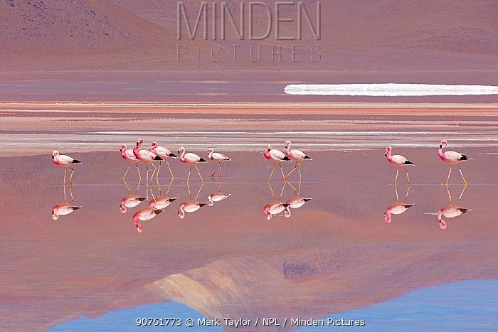 Andean Flamingos (Phoenicopterus andinus), Laguna Colorada, Bolivia.