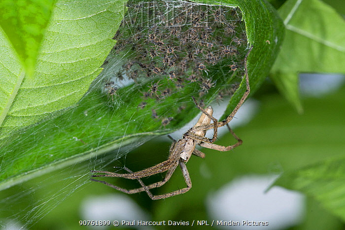 Nursery web Spider (Pisaura mirabilis) guarding cocoon and recently hatched spiderlings. Podere Montecucco, Orvieto, Umbria, Italy, June.