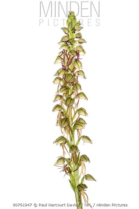 Man orchid (Orchis anthropophorum) Precis, Suibillini, Umbria, Italy. May