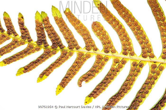 Hard fern ( Blechnum spicant) showing the sori (cluster of spore producing structures. Beneath the fronds. Sugano, Orvieto, Umbria, Italy, March.