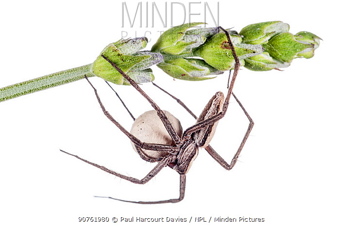 Nursery web spider (Pisaura mirabilis) guarding egg cocoon. Torrealfina, Orvieto, Italy, May.