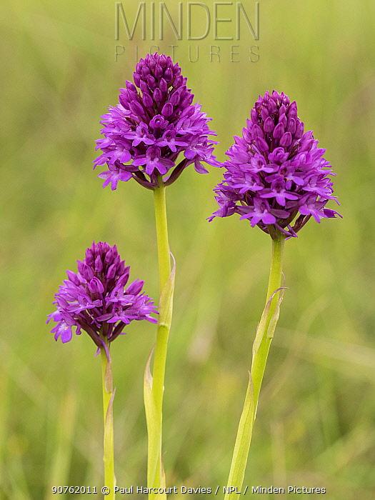 Pyramidal orchid (Anacamptis pyramidalis) Campi Valley, Sibillini, Umbria. June.