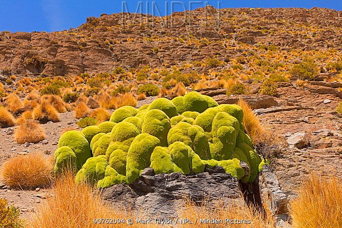 Giant cushion plant (Azorella compacta). Bolivia.