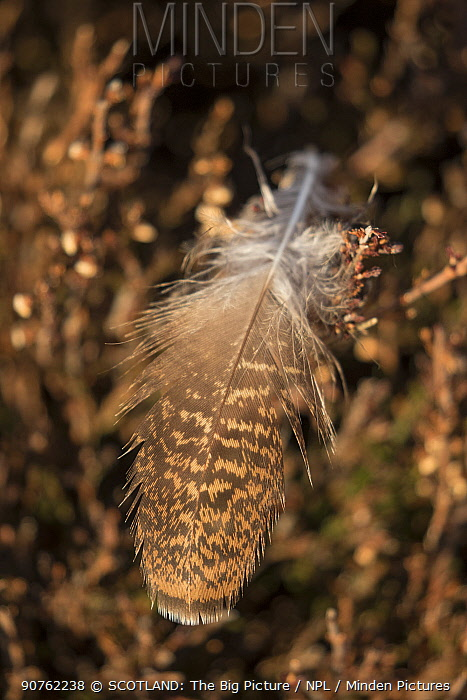 Red grouse (Lagopus lagopus scoticus) feather resting on heather, Cairngorms National Park, Scotland, UK, March.