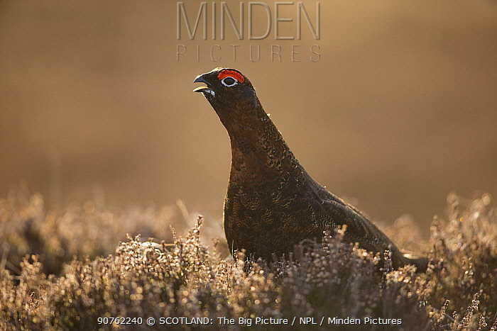Red grouse (Lagopus lagopus scoticus) male calling amongst heather, Scotland, UK, March.