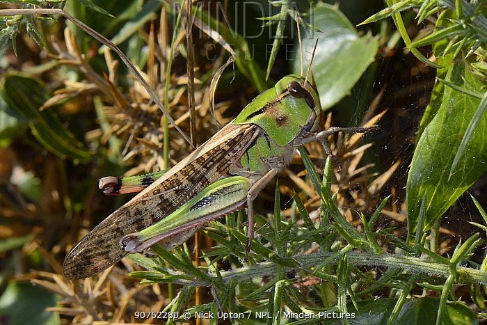 Migratory locust (Locusta migratoria) well camouflaged among coastal vegetation, Asturias, Spain, August.