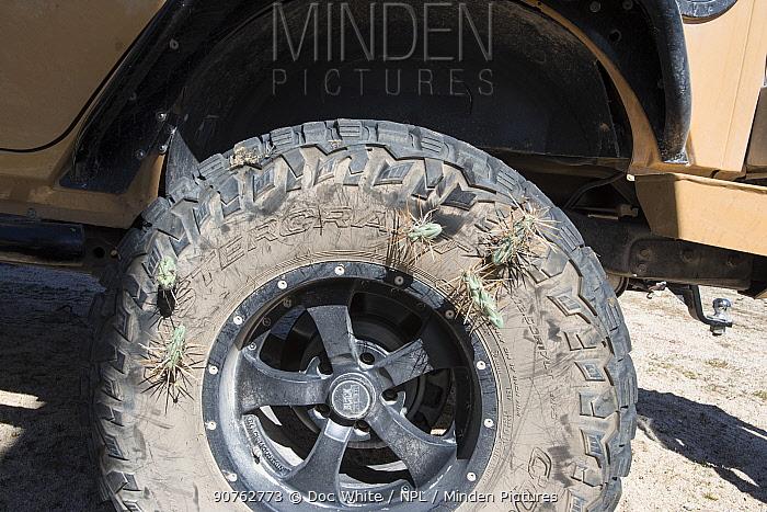 Cholla cactus (Opuntia molesta) spines stuck in car tyre, Catavina, Baja California, Mexico