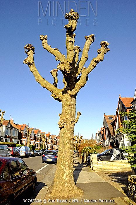 Heavily pollarded London Plane Tree (Platanus x hispanica) in surburban street, London Borough of Haringay, England Britain UK, February 2014.