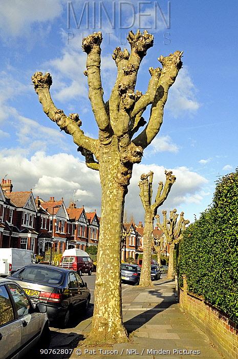 Heavily pollarded London Plane Trees (Platanus x hispanica) in surburban street, London Borough of Haringay, England Britain UK, February 2014.